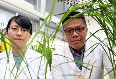 HKU and Kyoto U reveal a new strategy to enhance the efficiency of cereal straw for biofuel production