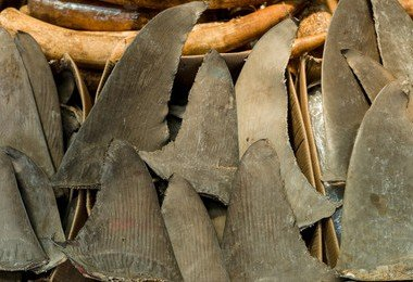 HKU-led study shows 60% of shark species threatened by shark fin trade